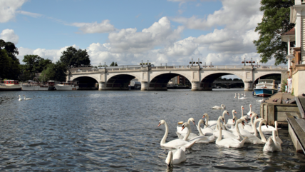 Swans & Kingston Bridge